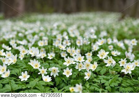 Anemone Nemorosa Flowers In The Spring Forest