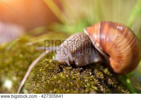 Burgundy Snail (helix Pomatia, Roman Snail, Edible Snail, Escargot) On The Moss. Close-up Images