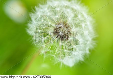 Closeup White Dandelion On  Green Background, Selective Focus