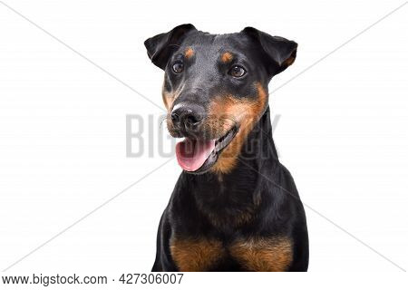 Portrait Of Beautiful Dog Breed Jagdterrier, Closeup, Isolated On White Background
