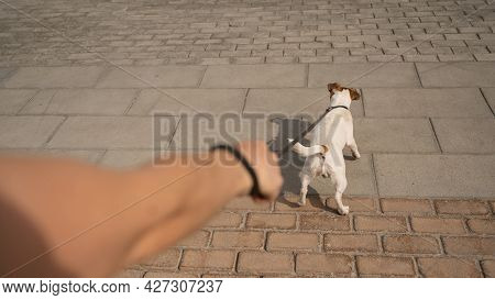 Naughty Dog Jack Russell Terrier Pulls The Owner By The Leash