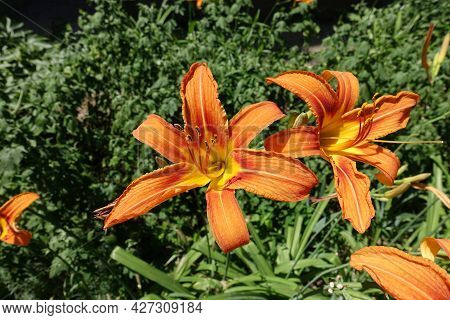 Pair Of Bright Orange Flowers Of Tiger Daylily In Mid June