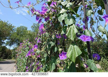 Lots Of Purple Flowers Of Morning Glory In July