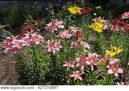 Pastel Pink, Red And Yellow Flowers Of Lilies In Mid June