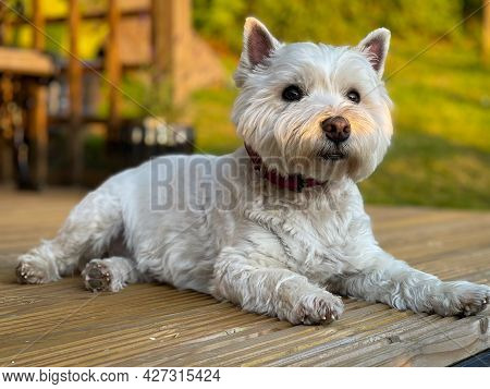 A Cute White West Highland Terrier Dog Lying On Wooden Decking In The Evening Sun