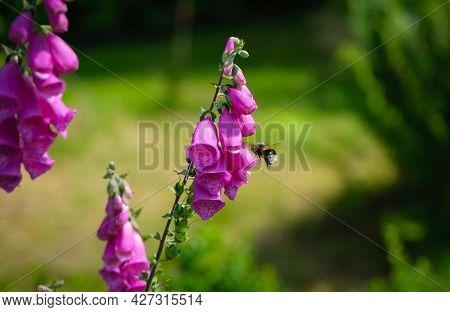 Bee Feeding On Pollen And Nectar In A Fox Gloves Purple Garden Flower