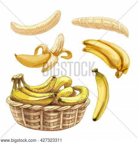 Set With Fresh Whole And Peeled Banana. Vintage Vector Hatching Color Hand Drawn Illustration Isolat