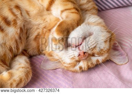 Adult Ginger White Cat Sleeping Sweetly With His Head Upside Down. Domestic Cat Curled Up And Peacef