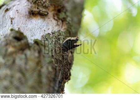 Black Butterfly In The Afternoon With Folded Wings On The Bark Of A Tree, Strong Background Blur