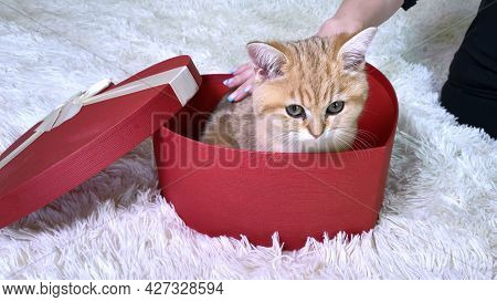 Hand Stroking Little Red Ginger Striped Kitten Sitting In Red Heart Shaped Box.