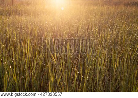 Golden Green Grass With Dew Drops In Warm Sunlight. Abstract Summer Background With Sun Glare. Soft