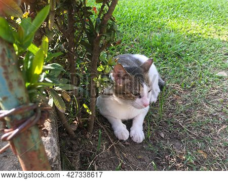 Angry Gray-white Cat Lying And Resting Under A Bush On The Grass