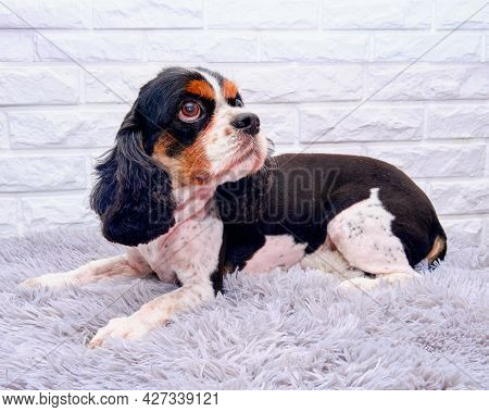 Cavalier King Charles Spaniel Lies On A White Brick Background After Grooming