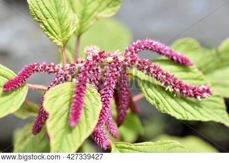 Red Spikelets Amaranth Flowers In The Garden
