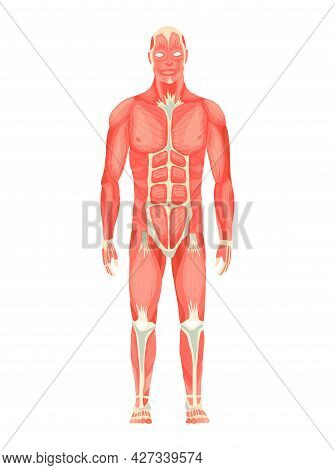 Human Anatomy Of Male Muscular System - Anterior View - Full Body. Medical Education Chart For Educa