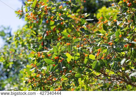 Small-leaved Honeysuckle (lonicera Microphylla) Branches With Orange Berries And Green Leaves In The