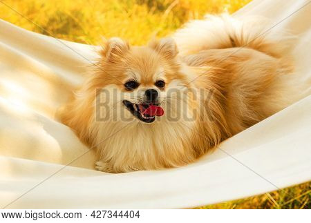 Pomeranian Spitz Rests In A Hammock On A Summer Sunny Day. Dog In Nature