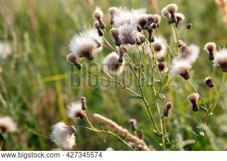 Flowering Thistle . Creeping Thistle (cirsium Arvense) Also Known As Canada Thistle And Field Thistl