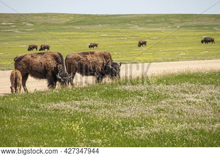 Badlands National Park, Sd, Usa - June 1, 2008: Bison Family Scene With Calf Along Dirt Road Cutting