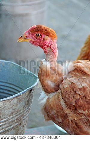 Hen Drinking Water From Bucket In Poultry Yard. Domestic Bird