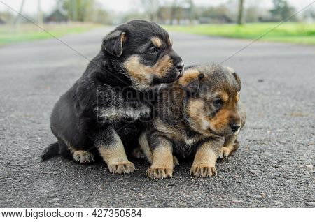 Two Puppies Are Sitting On The Road. Abandoned Puppies Concept. Orphan Puppies. Call For Help For Pe