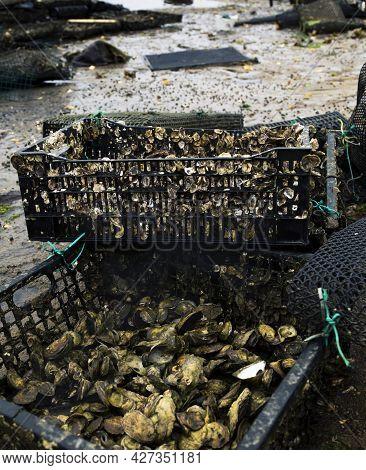 Oyster Farming On Cape Cod In Wellfleet Massachusetts