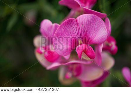 Pink Flower Close Up With Dark Green Nature Background - Lathyrus Latifolius, Broad-leaved Everlasti
