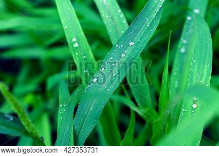 Water Drops On Rich Green Fresh Grass After Rain, Feeling Of Freshness And Coolness After A Hot Day