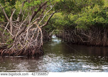 Airboat Speeds Through Mangrove Pathways In The Swamp Of The Everglades In Everglade City, Florida.