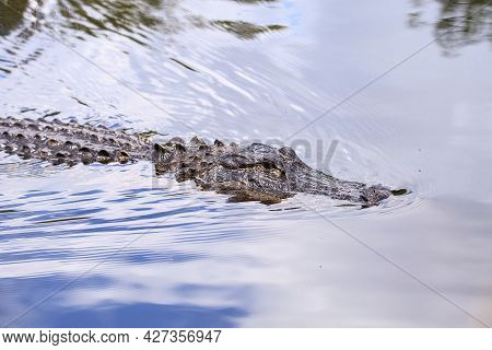 American Alligator Alligator Mississippien Submerged In A Swamp In The Everglades Of Florida.