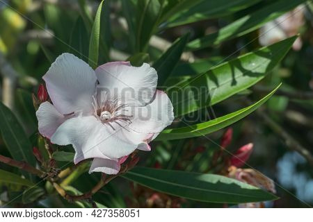 Nerium Oleander Flower Close Up Outdoors With Sunlight