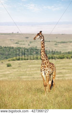 Adult male Masai giraffe, Giraffa camelopardalis tippelskirchii, in the grass of the Masai Mara. This is an endangered subspecies indigenous to central and southern Kenya.