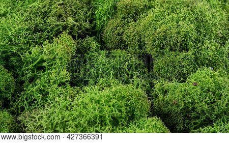 Moss Green Texture. Moss Background. Green Moss On Grunge Texture, Background. Beautiful Green Moss