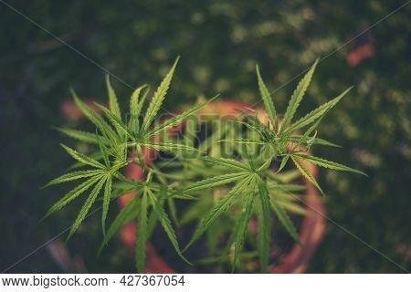 Green Marijuana Tree Cannabis Plant Narcotic Herbal In Greenhouse. Hemp Leaf Made Cannabis Crude Oil