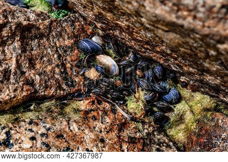 Black Sea Bivalve Molluscs Close-up. Black Seashells Grow Among Red Granite Stones. Natural Backgrou