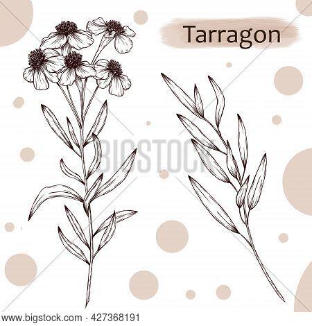 Tarragon Branches Illustration, Artemisia Dracunculus Sketch, Herbs Botanical Art, Vintage Style Sea