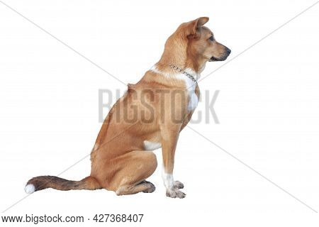 Side Brown Thai Ridgeback Is Handsome Noble And Smart Sitting Isolated On White Background.