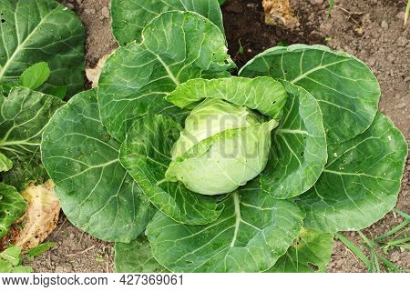 A Young Cabbage Head, With Leaves Eaten By Slugs, Grown On A Garden Plot. Selective Focus.