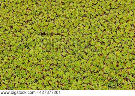 The Duckweed Tree Spreads Until It Fills The Irrigation Canal In A Dense Way.