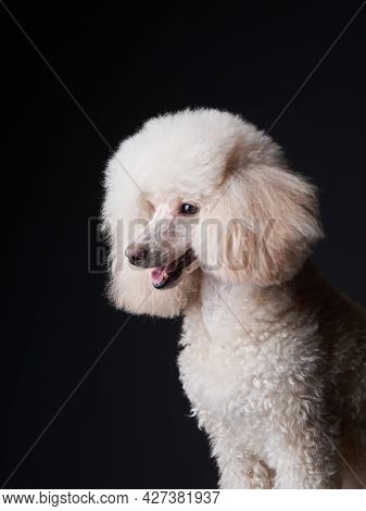 Portrait Of A White Small Poodle. Dog On Black Background. Beautiful Pet In Studio