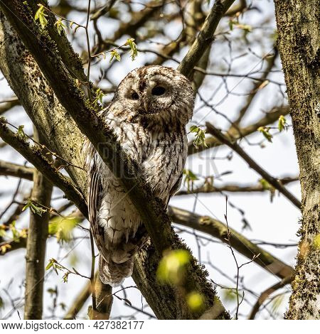 Juvenile Tawny Owl, Strix Aluco Perched On A Twig. This Brown Owl Is A Stocky, Medium-sized Owl Comm