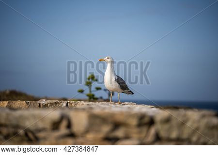 Sea Gull Sits On The Wall Looking Out For Food. Concept: Watching, Looking