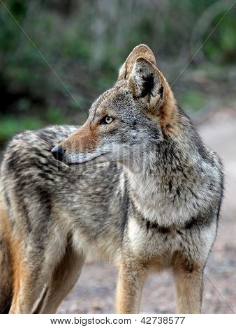 A closeup shot of a Coyote in South Texas poster