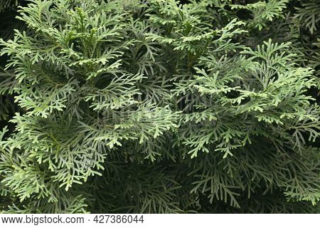 Green Background With Close Up Of Fir. Ecology And Nature Concept, Green Leaves Branches Background.