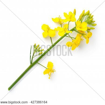 Rapeseed Isolated On White Background. Canola Flower. Brassica Napus. Top View