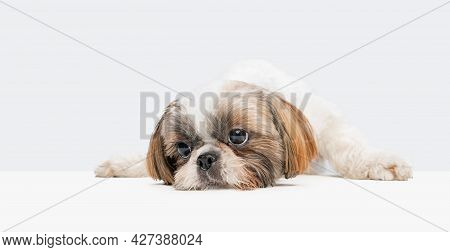 Portrait Of Cute Little Doggy, Shih Tzu Dog Lying On Floor And Looking Away Isolated Over White Stud
