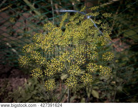 Dill (anethum Graveolens) Is An Annual Herb In The Celery Family Apiaceae. It Is The Only Species In