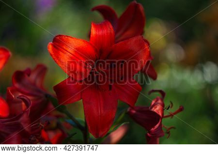 Red Lily Blooms In The Spring In The Garden. Big Red Lily Flower Close-up, Macro.beautiful Red Bloom