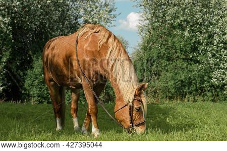 Red Horse With Its Brown Bridle Is Eating The Fresh Grass In A Field.