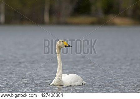 Beautiful National Bird Of Finland, Whooper Swan, Cygnus Cygnus Swimming On The Lake In Finnish Wild